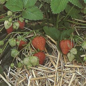 Erdbeeren 0,5 kg aus Neulengbach