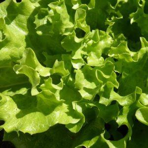 Batavia Salat grün Achleitner