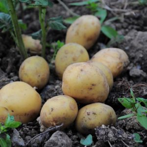 Erdäpfel Exquisa festkochend demeter gesackt 2 kg