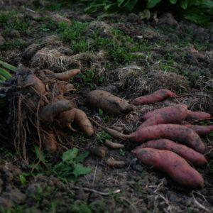 Süßkartoffeln Maierhofer
