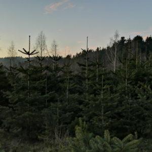 Bio Weihnachtsbaum 1-1,5m Lieferung 22.12.