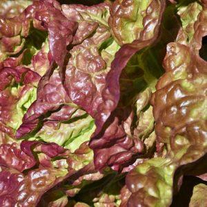 Kopfsalat Quatro Saisone Kulturgemüse