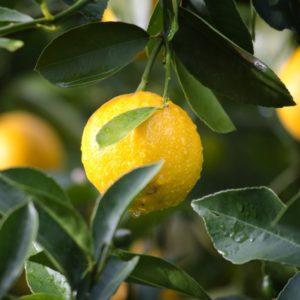 Zitronen aus Sizilien – Lieferung 19. Februar