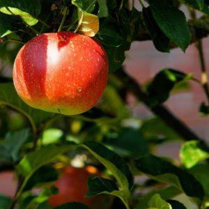 Apfel Idared Weichhart