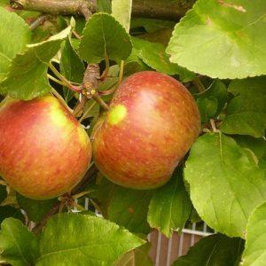 Apfel Elstar Lindner