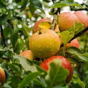 Apfel Lederrenette (Rarität!)