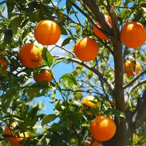 Orangen aus Sizilien – Lieferung 19. Februar
